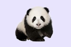 Фотограф перекрасил щенка в панду ради снимков с туристами