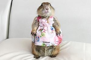 На кого подписаться: Луговая собачка в роскошных платьях