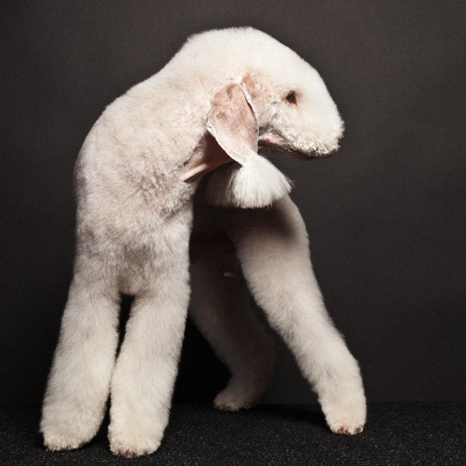 «Стриженые»: Собаки как арт-объект. Изображение № 3.