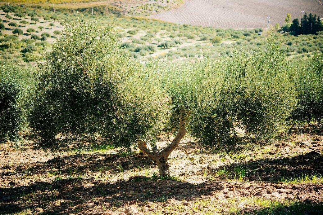 Осень в Италии:  Гастротуризм и сбор  олив на Сицилии. Изображение № 7.