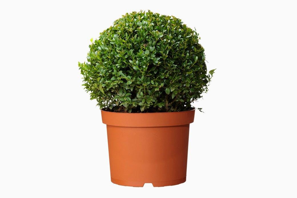Самшит вечнозеленый, IKEA, 799 руб.. Изображение № 22.
