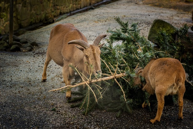 Куда сдать новогоднюю елку на переработку и зачем это делать?