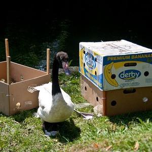 Двух чёрношейных лебедей запустили в Голицынский пруд парка Горького — Парк Горького на The Village