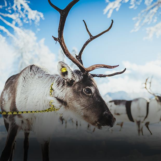Оленья ферма в Сочи: Юрты и специальные трассы для катания в упряжках  — Новое в Сочи на The Village