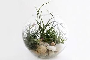 Воздушный цветок: Что делать с растением без корней