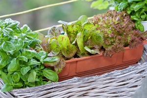 5 простых советов для тех, кто хочет заняться огородничеством на балконе