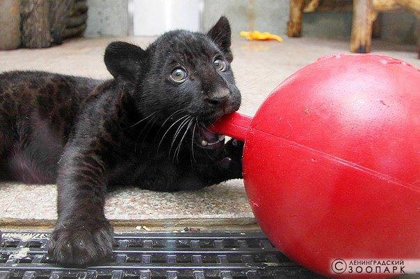 Ленинградский зоопарк собирает игрушки для ягуарят . Изображение № 2.