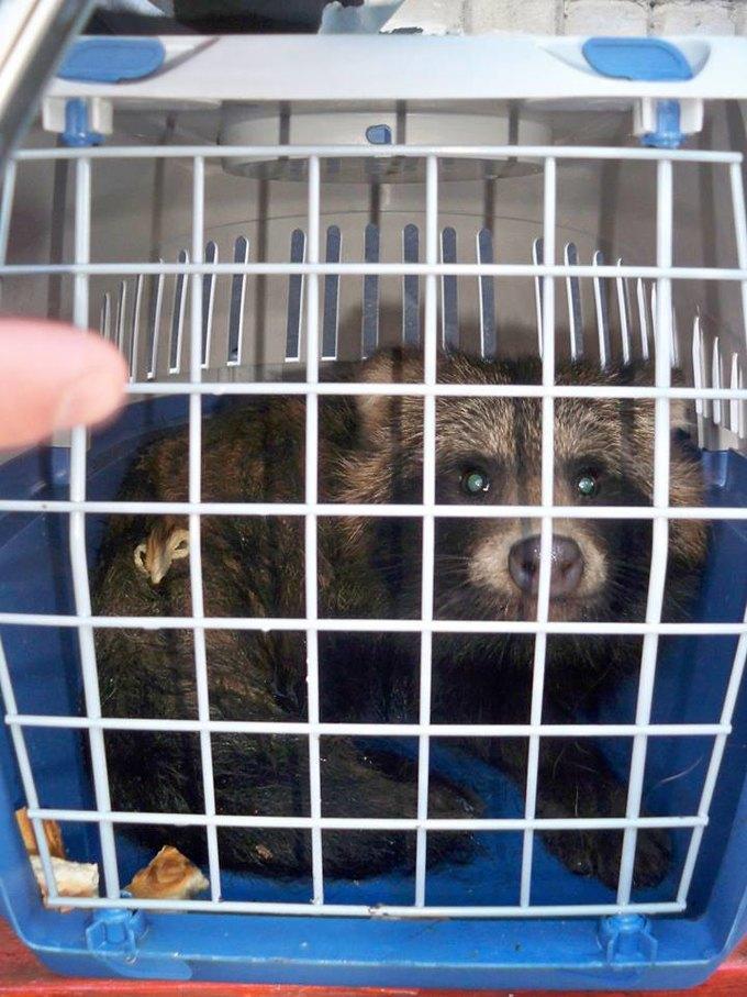 Найденная вМосковском районе енотовидная собака. Изображение № 1.