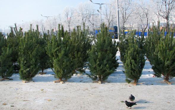 В Москве заработало 200 ёлочных базаров. Изображение № 1.