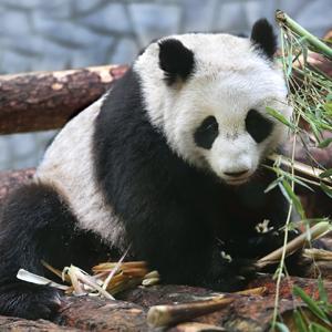 В закладки: видеотрансляция из вольеров панд — Жизнь на Wonderzine