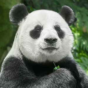 Китайская дипломатия: Как панды оказались заложниками политиков — Жизнь на Wonderzine