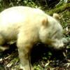 В Китае впервые сфотографировали редкую панду-альбиноса
