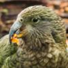 Орнитологи обнаружили рекордное число птенцов вымирающего вида