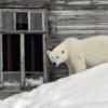 В Архангельской области ввели режим ЧС из-за нашествия белых медведей