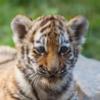 В зоопарке Оренбуржья тигрёнок пострадал во время нападения вора