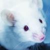 Учёным впервые удалось удалить ВИЧ-инфекцию из ДНК мышей