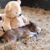 Плюшевый мишка заменил маленькому пони маму