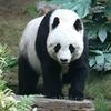 Исследование: панды отказываются от размножения из-за комфортных условий среды