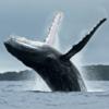 В Японии официально возобновят китобойный промысел