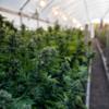 В Израиле частично декриминализировали марихуану