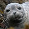 В Китае 37 детёнышей тюленей спасли от браконьеров
