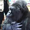 В США умерла знаменитая горилла Коко, освоившая язык жестов