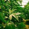 В Канаде официально легализовали марихуану