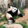 Панды в зоопарке Гонконга наконец-то смогли спариться