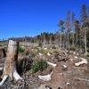 Earthsight: IKEA использует незаконно вырубленный в России лес