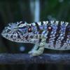 На Мадагаскаре обнаружили хамелеона, считавшегося вымершим