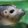 В Канаде десятки тюленей оказались на улице — они не могут попасть домой