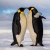 Однополая пара пингвинов усыновила яйцо