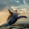 В Исландии разрешили добычу более двух тысяч китов в следующие пять лет