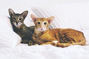 На кого подписаться: Инстаграм котов-ориенталов kingsofmeow