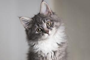 В Китае планируют запустить услугу по клонированию кошек