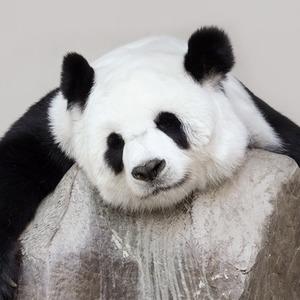 «Они только на вид плюшевые и безобидные»: Как я ухаживала за пандами