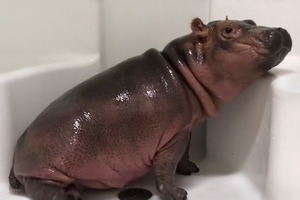 Бегемотик Фиона моется  и пьёт воду в душе
