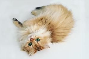 На кого подписаться:  Кошка Смузи божественной красоты