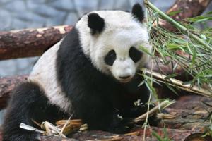 В закладки: видеотрансляция из вольеров панд