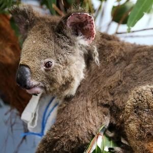 Миллиард погибших животных: Что известно о лесных пожарах в Австралии