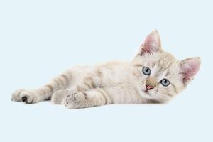 В закладки: Генератор кошачьего мурлыканья Purrli