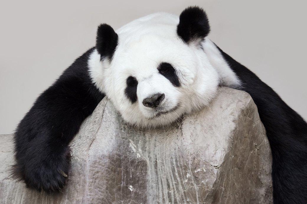 «Они только на вид плюшевые и безобидные»: Как я ухаживала за пандами. Изображение № 2.