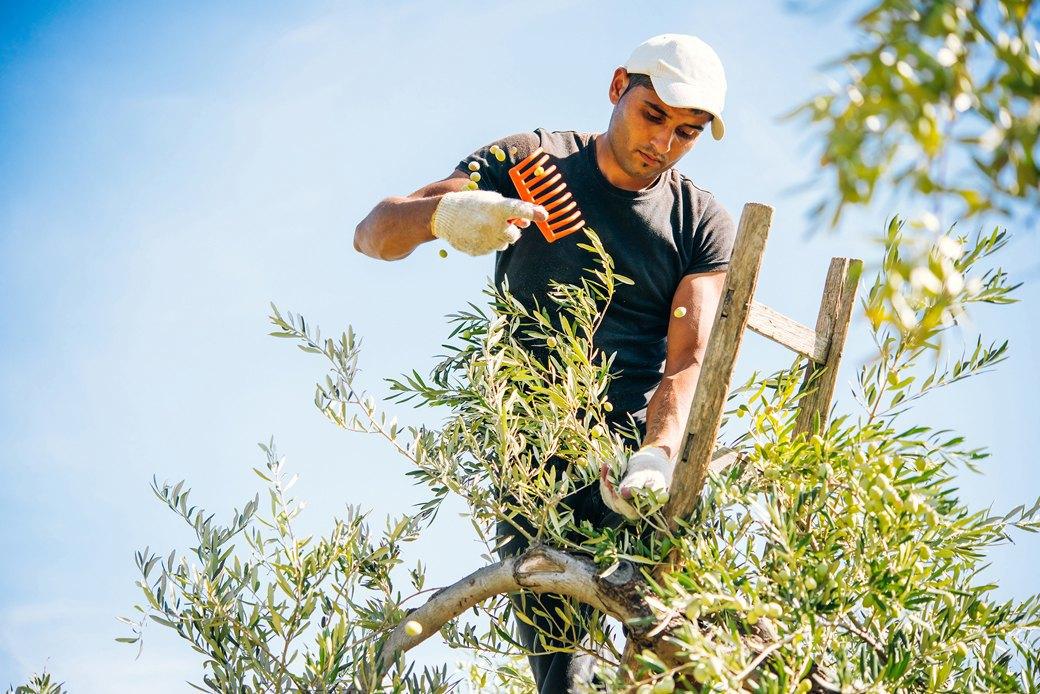 Осень в Италии:  Гастротуризм и сбор  олив на Сицилии. Изображение № 1.
