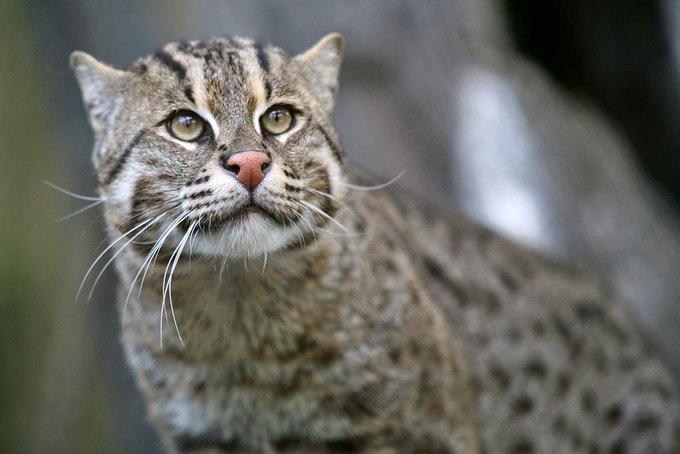 Учёные собрали средства на поиск самой редкой кошки-рыболова. Изображение № 1.