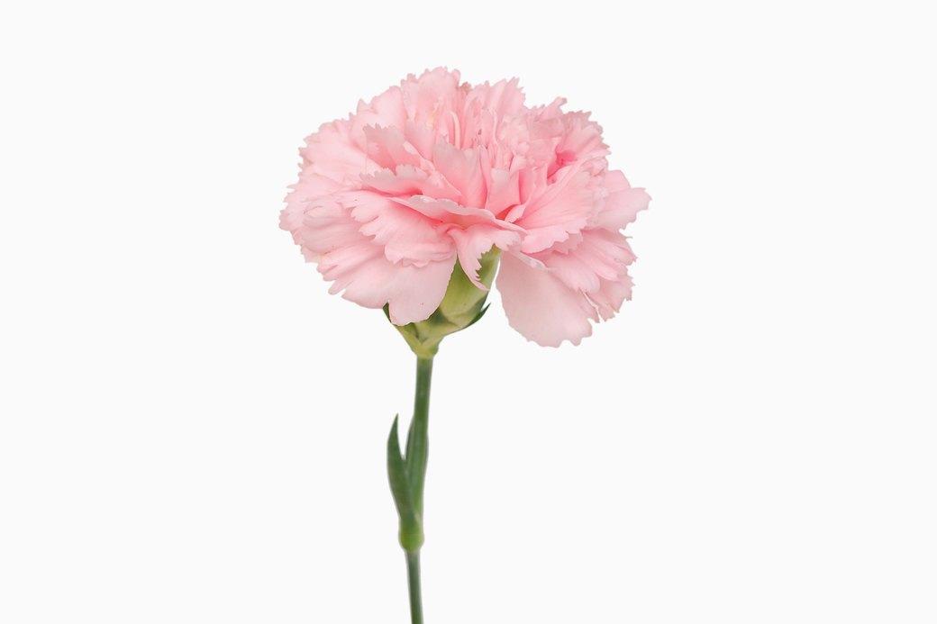 Как розовый стал «женским» цветом. Изображение № 2.