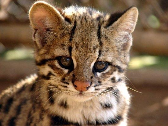 В Бразилии обнаружили новый вид диких кошек. Изображение № 1.